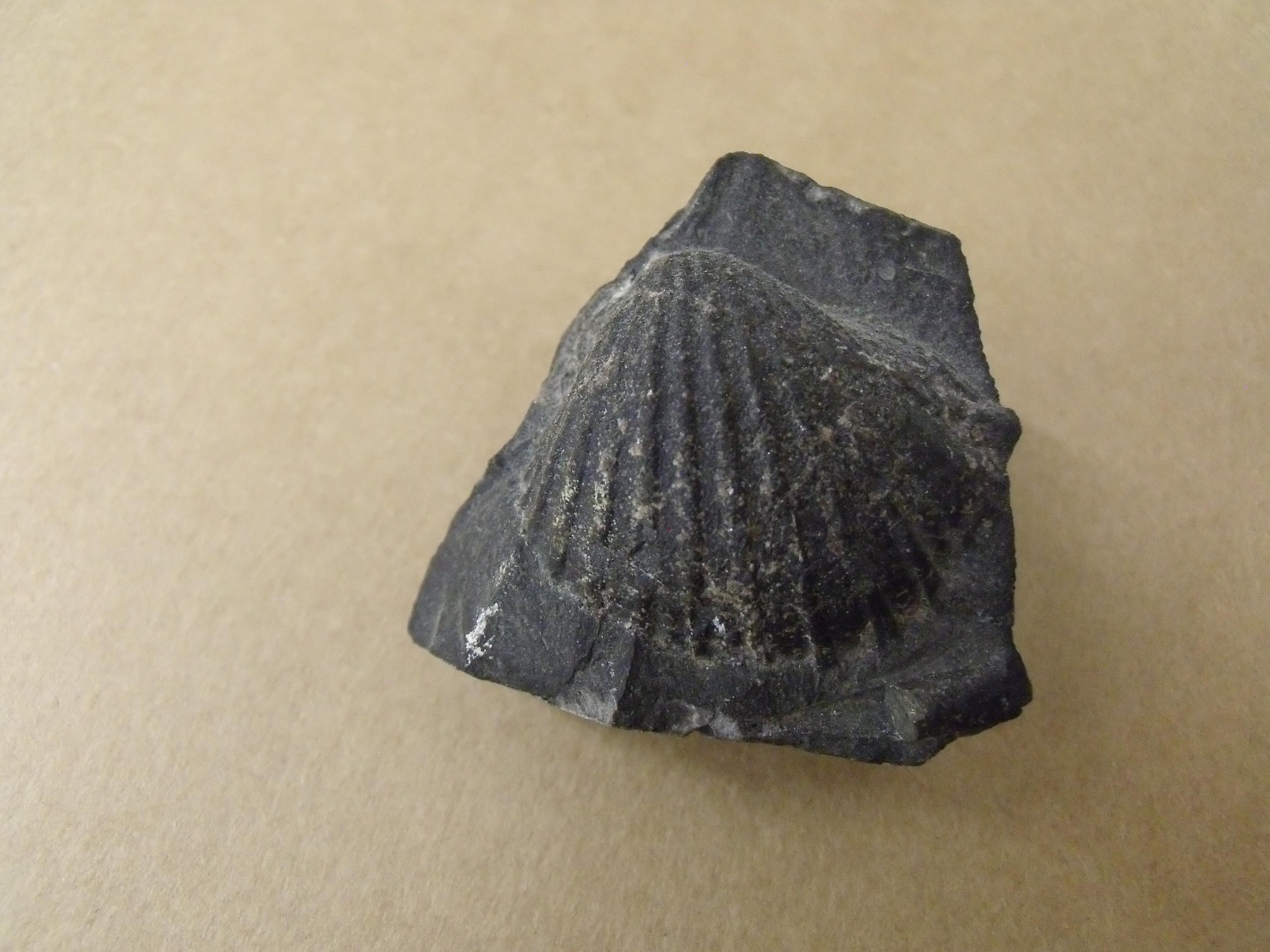 mlž Praecardium primulum, (lok. Praha Podolí )