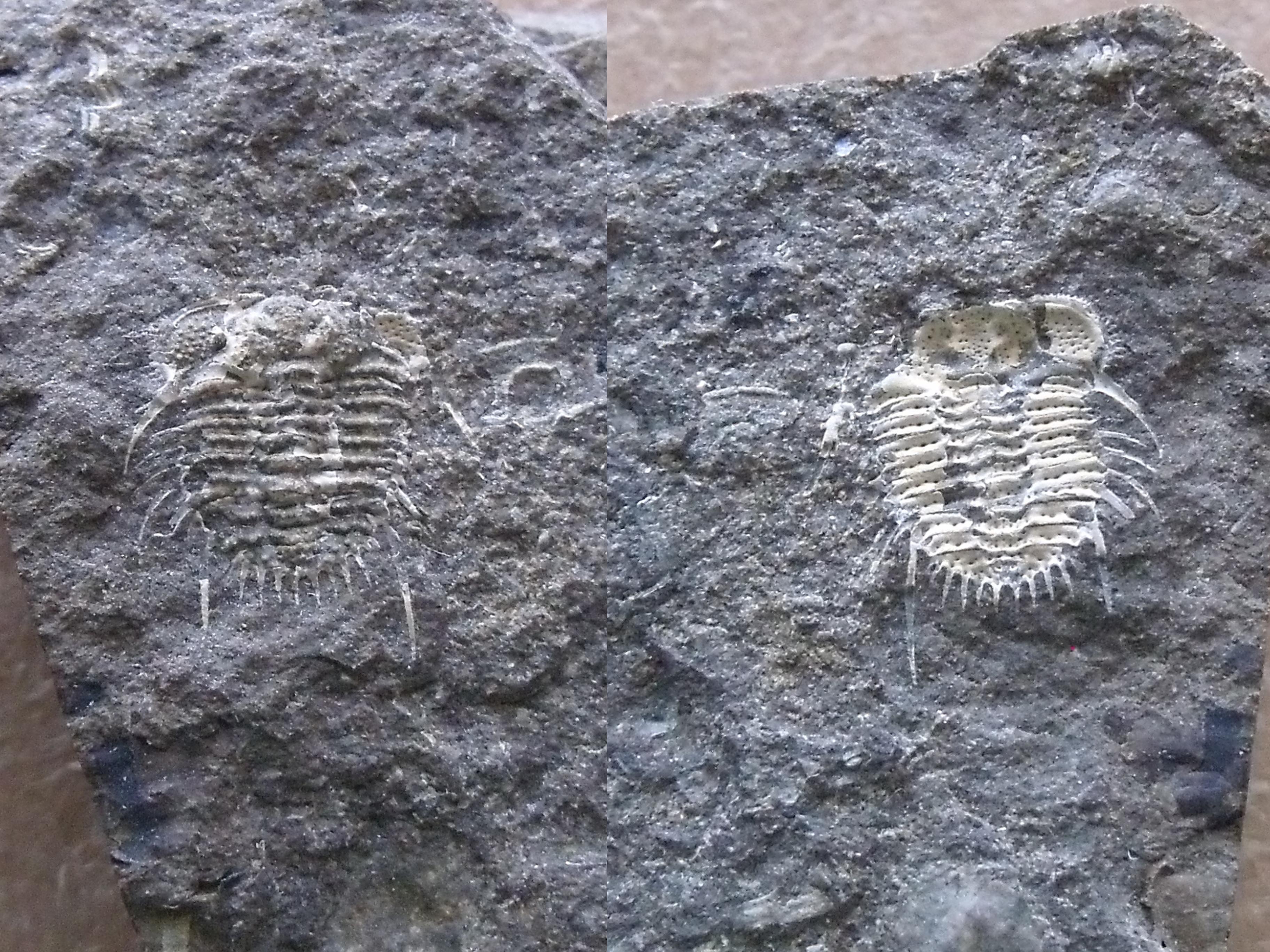 trilobit Acanthalomina minuta, p/n (lok.lom Kosov)