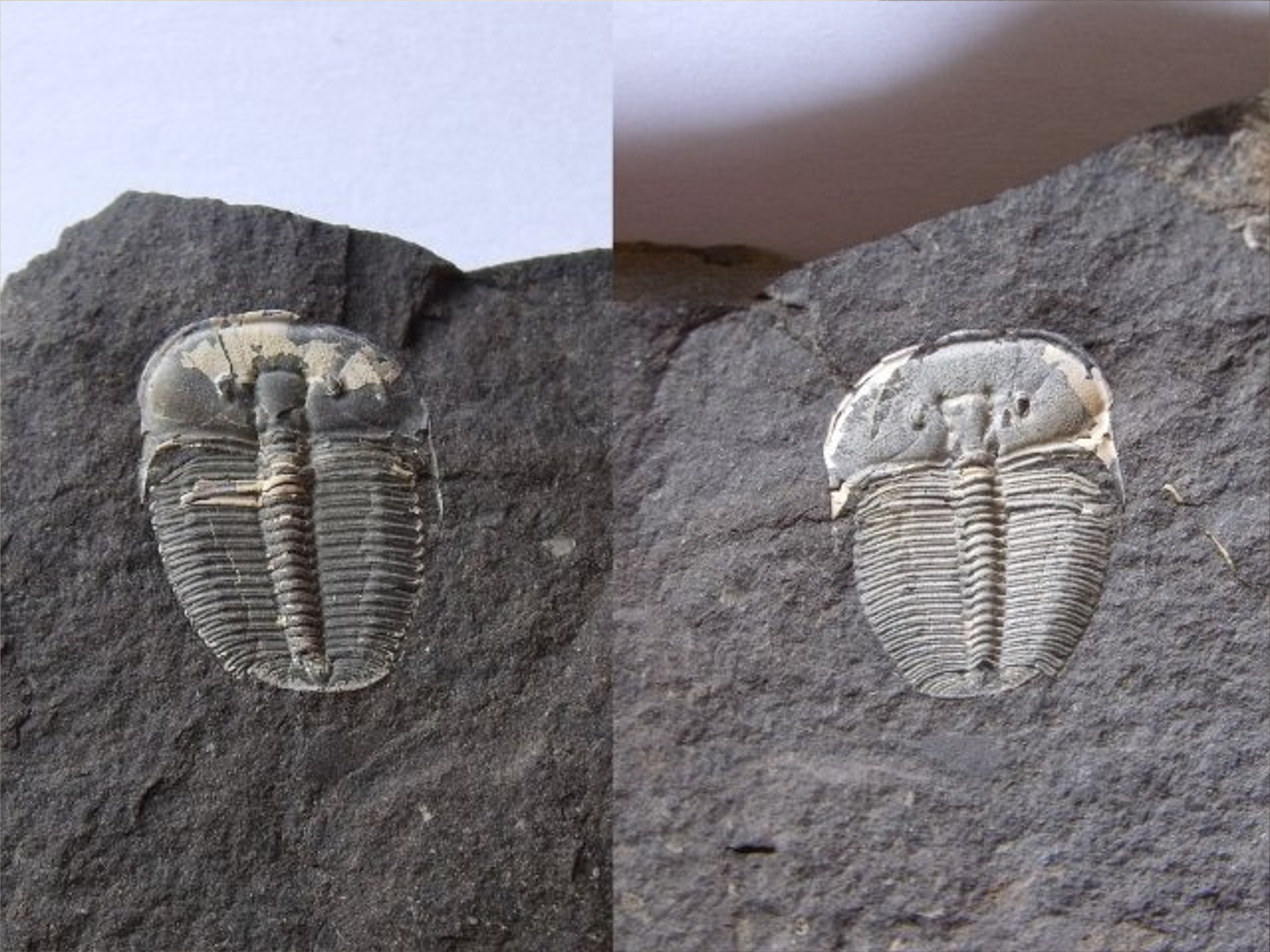 trilobit Aulacopleura konincki, p/n (lok.Loděnice)