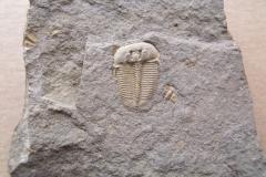 trilobit Aulacopleura konincki, (lok.Loděnice)
