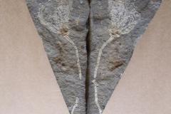lilijice Pisocrinus sp. ? ,(lok Loděnice)