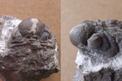 hlava trilobita Ananaspis fecunda, (lok.lom Kosov)