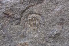 trilobit Acanthalomina minuta, (lok.lom Kosov)