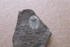 trilobit Otarion diffractum, (lok.lom Kosov)