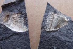 část ocasního štítu trilobita Phacopidella glockeri, n/p(lok Loděnice)