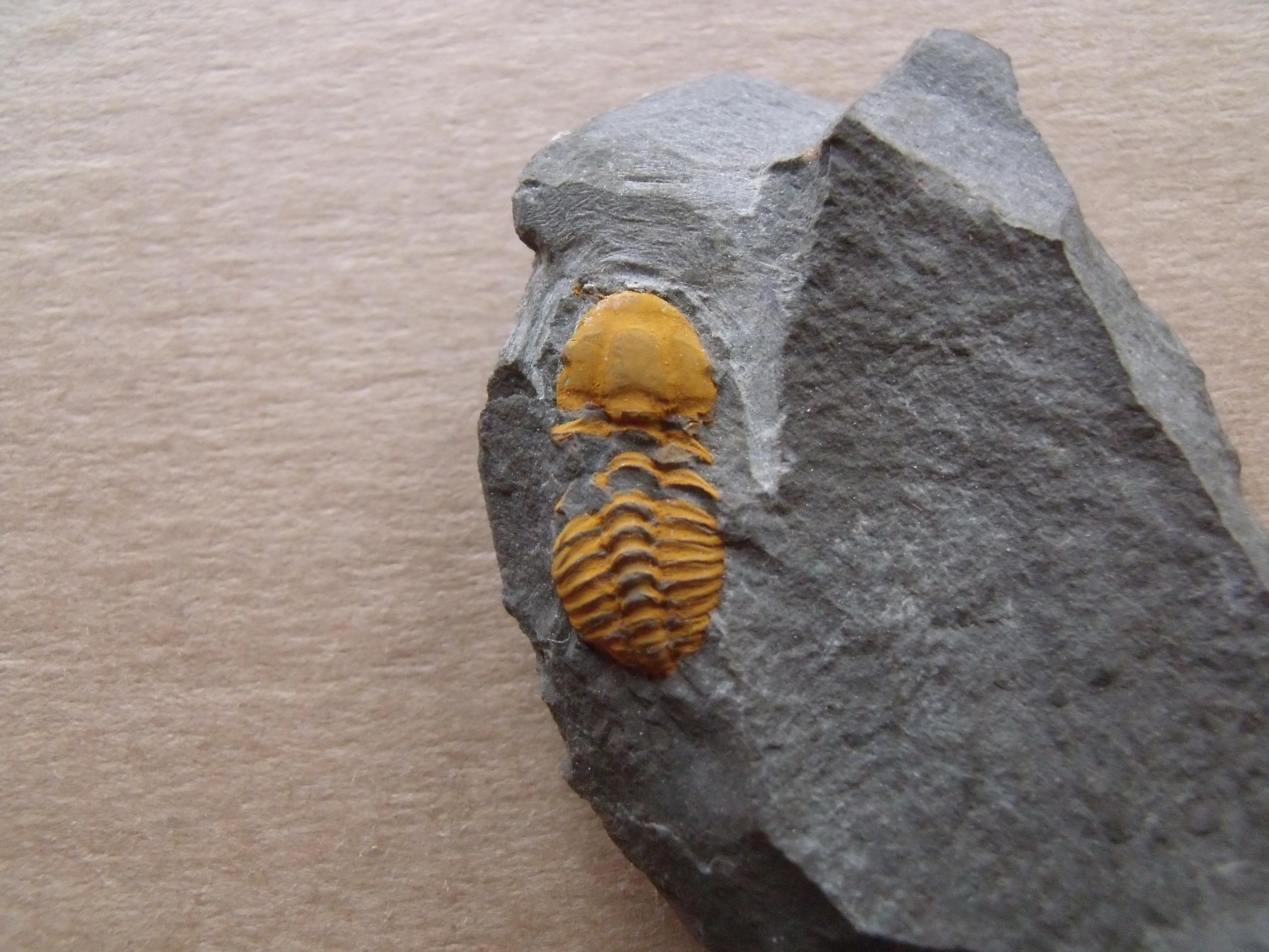 3) trilobit