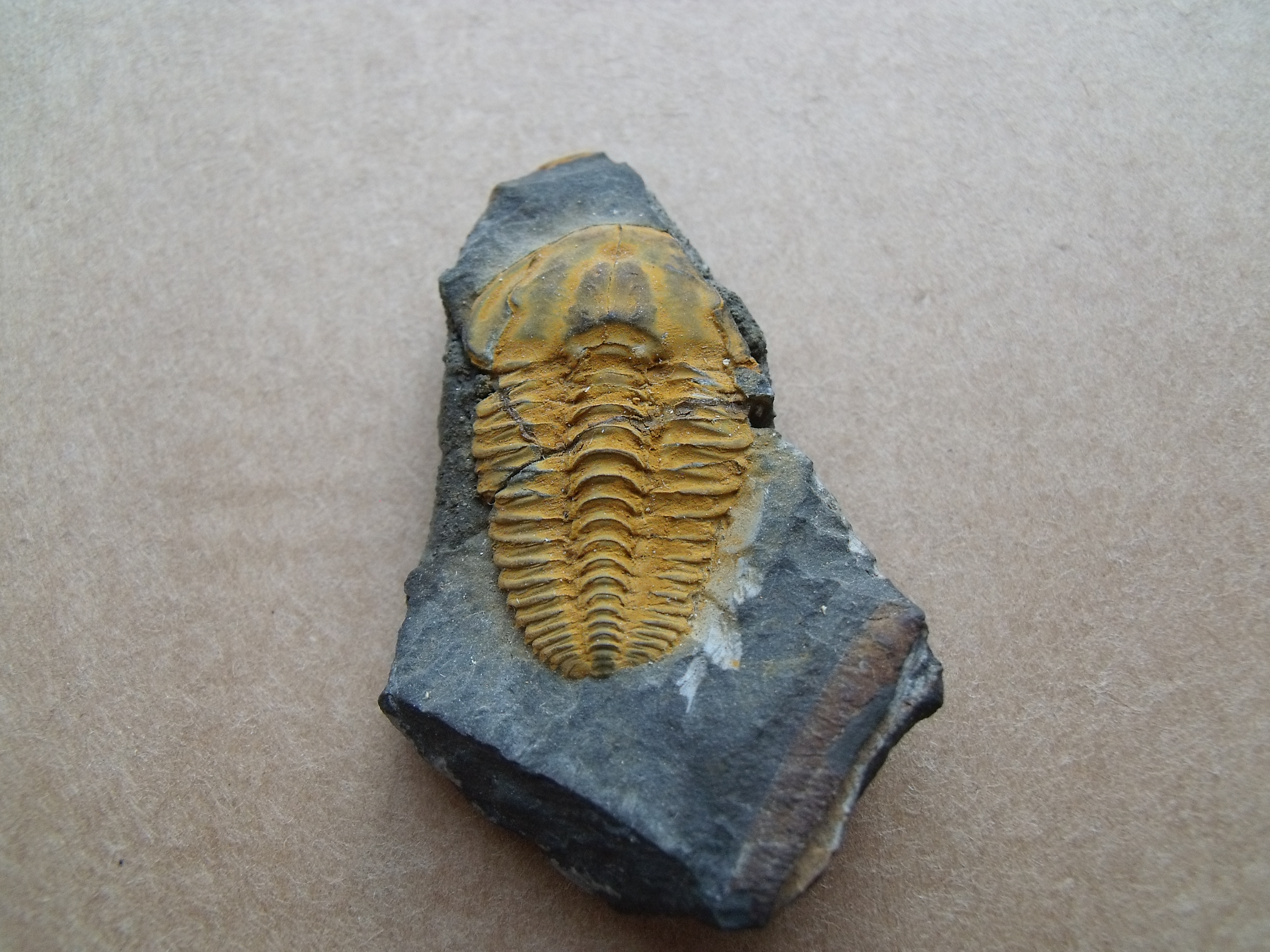 1) trilobit