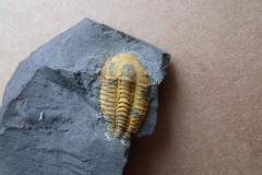 2) trilobit